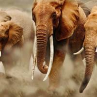 Troppi bracconieri a caccia di avorio.  Così in un secolo anche gli elefanti rischiano di...