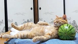 """Il gatto e il cocomero Com'è scomodo quel """"cuscino"""""""