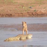 Il feroce attacco del branco: leoni battono un coccodrillo