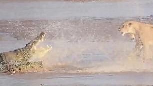 Branco di leoni all'attacco e il coccodrillo si ritira    - video