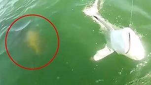 Cernia gigante spunta dagli abissi e inghiotte lo squalo finito all'amo
