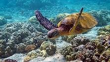 Tartarughe, la mamma  'parla' a piccoli sott'acqua