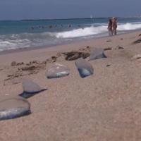 Usa, uno spiaggiamento insolito da costa a costa: velella velella a migliaia