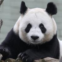 Scozia, stressata dagli aerei mamma panda rischia di abortire