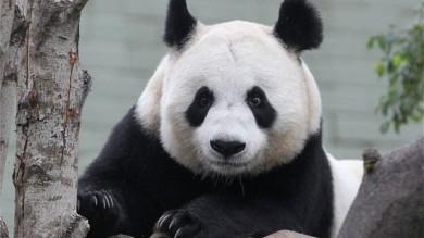 Mamma panda rischia di abortire perché stressata dagli aerei in Scozia