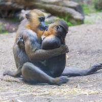 Baci e tenerezze, lo show dei mandrilli innamorati