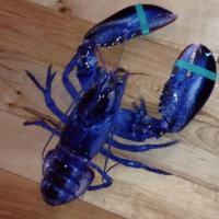 Usa, pescato rarissimo astice blu
