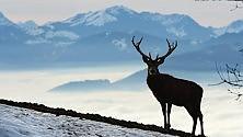 La pelliccia di Otzi svela l'origine dei cervi alpini