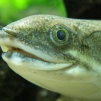 Il pesce cammina e respira fuori dall'acqua: ricostruita l'evoluzione della specie
