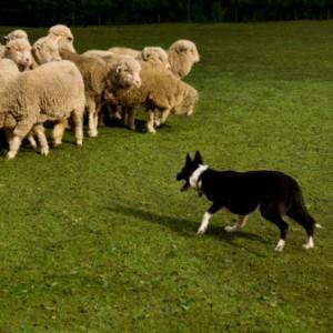 Ricostruito l'algoritmo dei cani pastore. Presto a radunare le pecore ci penseranno i robot