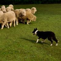 Ricostruito l'algoritmo dei cani pastore. Presto a radunare le pecore ci penseranno i...