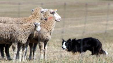 Ricostruito l'algoritmo dei cani pastore A radunare le pecore ci penseranno i robot