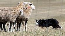 Cani pastore, l'algoritmo per radunare le pecore