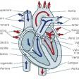 Cuore più protetto 20% di morti in meno nuova molecola cura  lo scompenso cardiaco