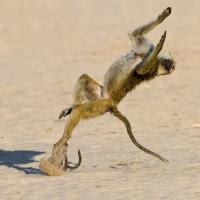 Tanzania, il babbuino fa l'acrobata e la scimmietta se la ride
