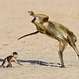 Il babbuino fa l'acrobata e la scimmietta se la ride