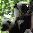Un asilo nido per i piccoli lemuri