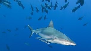 Palau, nel regno degli squali il primo divieto totale di pesca