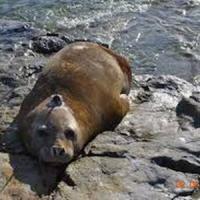 Le foche elefante ci aiutano a capire l'Antartide: trasmettitori hi-tech su 207 esemplari