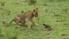 La mangusta affronta i leoni  i retroscena di un video virale
