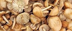 Salute, i consigli degli esperti in video     Il tema   Le intossicazioni da funghi