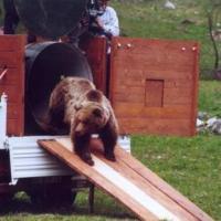 Morta l'orsa Daniza: uccisa dall'anestetico. E' polemica