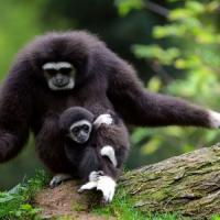 Anche i gibboni cantano. È scritto nel loro Dna
