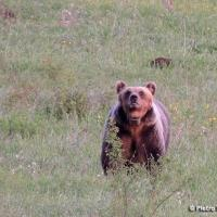Abruzzo, incontro ravvicinato con l'orso marsicano