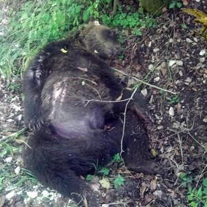 Abruzzo, un altro orso morto. Forestale: nessuna ferita, probabile avvelenamento