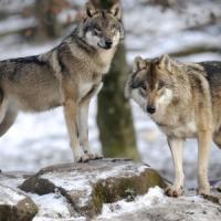 """I lupi """"riconquistano"""" le Alpi. Esperti sulle tracce dei branchi"""