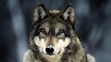 """Branchi di lupi """"riconquistano"""" le Alpi"""