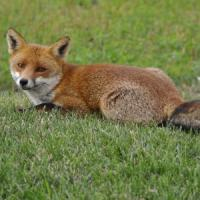 Molise, ritrovata volpe morta con un petardo in bocca