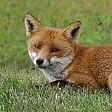 Isernia, volpe ritrovata  morta con un petardo  in bocca e legata