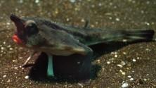 Il pesce col rossetto  e altre bizzarrie di profondità