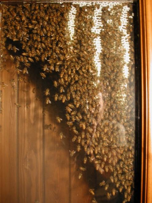 Le api gli infestano casa e lui diventa apicoltore - Nido api finestra ...