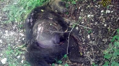 """Orso ucciso in Abruzzo con una fucilata indagato confessa: """"Sono stato io"""""""
