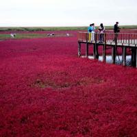 Cina, il mare d'autunno: le alghe dalle mille sfumature di rosso
