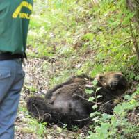 """Orso ucciso in Abruzzo con una fucilata, indagato confessa: """"Sono stato io"""""""