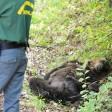 Orso ucciso in Abruzzo con una fucilata, c'è un indagato