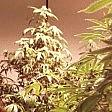 Marijuana terapeutica  e testamento biologico  Dall'associazione Coscioni un week end per i diritti  di CATERINA PASOLINI