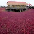 La marea rossa  l'alga colora la Cina
