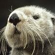 La lontra di mare ha bisogno d'aiuto