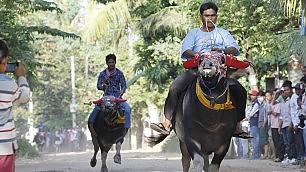 Cambogia, la corsa dei bufali  per invocare gli antenati