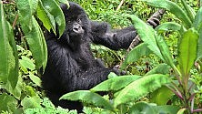 """""""Io, ex bracconiere    foto    ora salvo i gorilla"""" Altri 500 come Leonidas"""