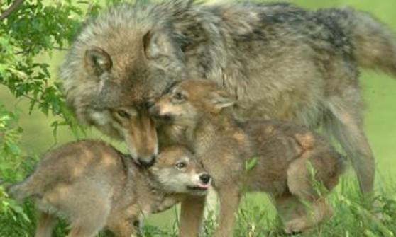 """""""Potete uccidere i lupi"""", Tosi autorizza a sparare e la Forestale lo denuncia"""