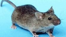 Stimoli elettrici e il topo paralizzato cammina
