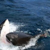 """Squalo vs squalo: l'attacco """"cannibale"""" nel mare australiano"""