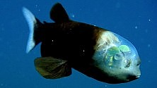 Vd: Macropinna microstoma il pesce dalla testa trasparente