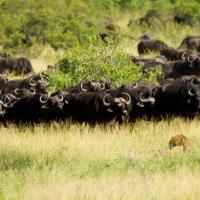 Il leone diventa preda: ucciso dai bufali