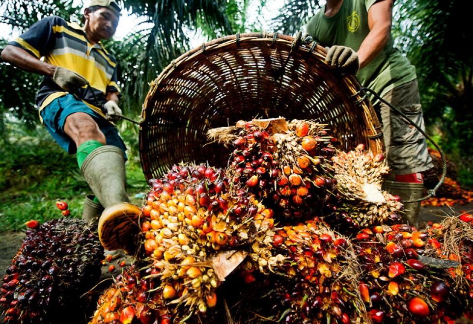 Foreste cancellate e animali decimati per fare spazio all'olio di palma